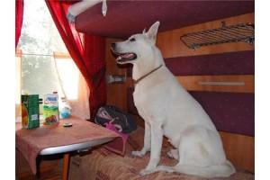 Новые правила перевозки крупных собак в поездах