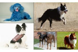 Рейтинг самых умных и дрессируемых собак