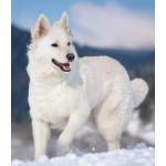 Белая швейцарская овчарка