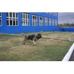 Дрессировка Кавказской овчарки