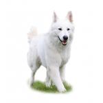 Хендлинг Белая швейцарская овчарка