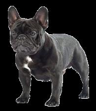 data/porodi/FrenchBulldog_francuzskiy-buldog_1.png