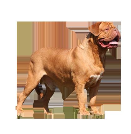data/porodi/new/bordoskiy-dog-francuzskiy-mastif.png